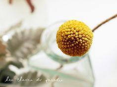 Billy button-Les fleurs du paradis-Blog-By Elodie Perrier