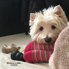 My feet are soooo comfy for Seta !! #ilovemywestie #ilovemydog #mywestie