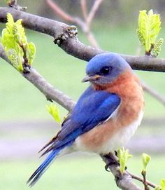 Bluebird Parenting & link at bottom of blog on how to build a blue bird house & discourage sparrows.