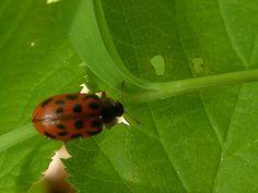 http://faaxaal.forumactif.com/t4636-photo-gratuite-de-chrysomele-du-quebec-chrysomele-du-peuplier-baumier-chrysomela-walshi-balsam-poplar-leaf-beetle