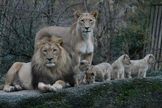 Oma Tattoos, Lion Kingdom, Lioness And Cubs, Lion Family, Carnivore, Cat Species, Peacock Art, Lion Pictures, Lion Tattoo
