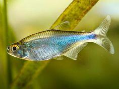 Cochu Blue Tetra Aquariums, Cool Tanks, Awesome Tanks, Tetra Fish, Fauna Marina, Monster Fishing, Exotic Fish, Freshwater Fish, Tropical Fish