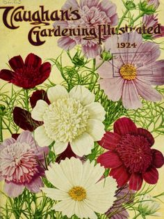 Single and double Cosmos flowers on Vaughan's Gardening Illustrated (1924).