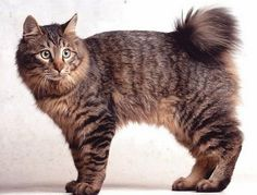 Tailless cats Breeds occur through random mutation. There are a few naturally occurring tailless cat breeds or short tail cats around the world. Cute Kittens, Cats And Kittens, Pretty Cats, Beautiful Cats, Pretty Kitty, Cool Cats, Bobtail Japonais, Chat Male, American Bobtail Cat
