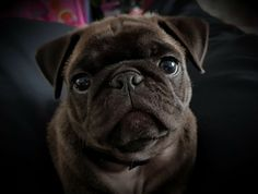 One of the best pug photo ever..