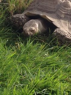 'Fred' the African Spurred tortoise @AnnasWelshZoo 2015