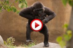 Break Dancing Gorilla At The Zoo Video #animals, #dance, #funny, #monkeys, #zoo…