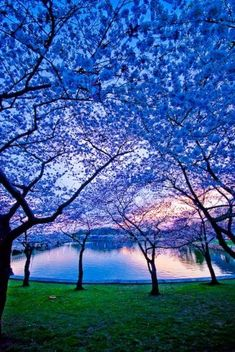 Blue Trees.. This is really pretty. It looks like this over the lake during sundown in Summer...