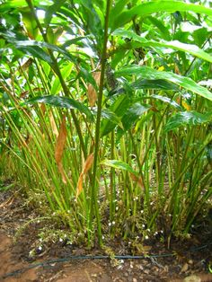 Photos of Coorg: Coorg Cardamom Plant