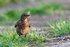 Common Blackbird In My Garden - Common Blackbird - Merle noir In my garden - Dans mon jardin. Souillac (Lot - 46 / France)