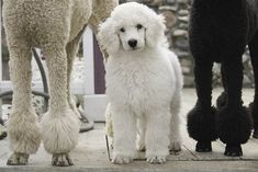 Baby Maggie the Standard Poodle   Photo by Alan Brown.