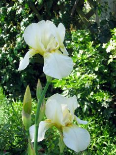 Tall Bearded Irise 'Magnolia' (Jean Stevens 1939) Photo by Stephanie Boot - NZ Iris Society