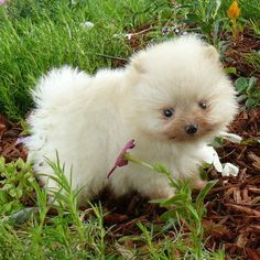 I'm not a small dog person, but omg, it's so cute!    --Tator a cute Pomeranian teacup puppy