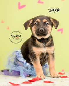 Sapphire is an adoptable German Shepherd Dog searching for a forever family near Cincinnati, OH. Use Petfinder to find adoptable pets in your area.