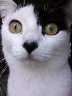 Cats That Look Like Hitler. --I dont think Hitlet, but I LOVE his <3 shaped nose :))