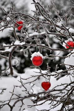 Simple color, red ornaments on snowy limbs!