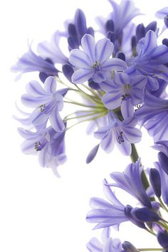 Beautiful blue agapanthus!