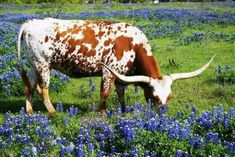 Another longhorn cow in a field of bluebonnets. So beautiful
