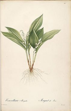 Lily of the Valley - Botanical Print