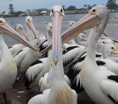 Pelicans - The Entrance NSW They are an amazing sight!