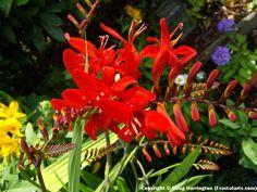 Crocosmia 'Lucifer', great hummingbird plant. Planted from bulbs.