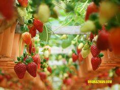 Strawberry Plantation - Cameron Highlands