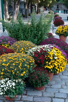 mums mums & more mums! Back in Lubbock I worked at a wholesale growing greenhouse and was put in charge of the mums. Learned lots.