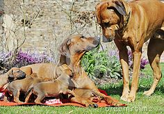 Adorable little Rhodesian Ridgeback puppies lying together with their proud mother on a blanket in garden.The female is looking up to the male of the litter, standing beside his little family. The little dogs are four weeks of age.
