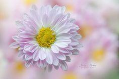 Daisy - null