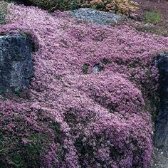 Thyme Coccineus   Thymus praecox   Aromatic Herb on Ground Cover Plant