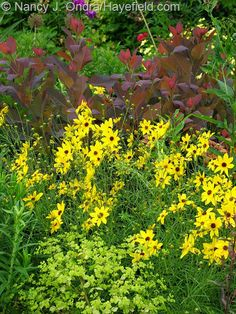Coreopsis tripteris with Cotinus 'Grace' and Euphorbia 'Golden Foam'; Nancy J. Ondra at Hayefield