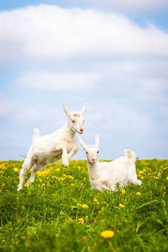 May 2014 - Jump! Rare Animals, Zoo Animals, Animals And Pets, Raising Farm Animals, Traverse City Michigan, Cute Goats, Baby Goats, Cute Friends, Animal 2