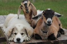 https://www.thedodo.com/dogs-who-found-a-goat-1203977135.html?utm_source=The Dodo Newsletter