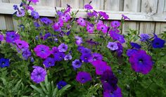 Petunia- Alderman (Violet) seeds | TheSeedCollection