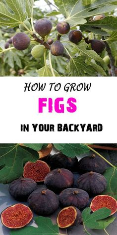 How To Grow Figs In Your Backyard And Fig Trees In Pots.