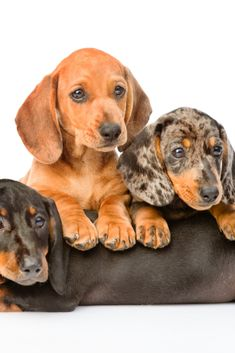 Group #dachshund dogs lying together. Isolated on white background