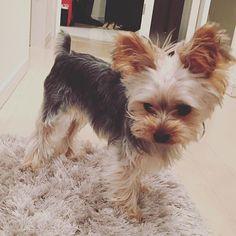 あたらしいスリッパ…ぱたぱたしたいな。おねえちゃん、あっちむかないかな…。 #east_dog_japan #ヨークシャーテリア #ヨークシャテリア #ヨーキーlove #ヨーキー #犬 #犬バカ部 #犬のいる暮らし #犬がいないと生きていけません #わんこ #dog #dogs #pet #pets #pretty #prettydog #cute #cutedog #yorky #yorkie #yorkies #yorkshire #yorkielove #yorkshireterrier #むーたん #親バカ #愛犬 #親バカ部 #ふわもこ部