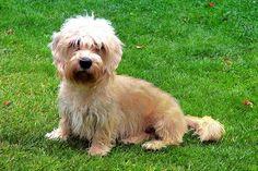 Dandie Dinmont Terrier Terrier Breeds, Terrier Puppies, Terriers, Dandie Dinmont Terrier, Patterdale Terrier, Dachshund, Cute Dogs, Main Character, Pets
