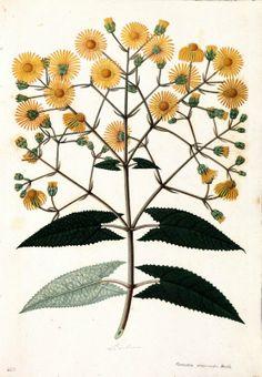 Liabum. Proyecto de digitalización de los dibujos de la Real Expedición Botánica del Nuevo Reino de Granada (1783-1816), dirigida por José Celestino Mutis: www.rjb.csic.es/icones/mutis. Real Jardín Botánico-CSIC.