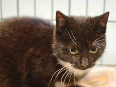 Pulled by Anjellicle Cats Rescue* NYC * TO BE DESTROYED 02/06/15 COSMO is extremely fearful in the shelter environment and does not currently tolerate petting or handling. The behavior department feels that placement with a New Hope Partner is the best option at this time.PLEDGE! ID #A1026926. Female black & white about 5 MONTHS old STRAY. I came in with Group/Litter #K15-002870.