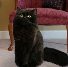 Black Ragdoll Cat