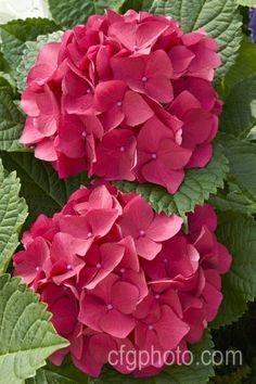 Photo of Hydrangea macrophylla Cityline Paris Hortensia Hydrangea, Hydrangea Macrophylla, Hydrangea Care, Hydrangea Flower, Flower Pots, All Flowers, Flowers Nature, Exotic Flowers, Beautiful Flowers