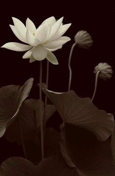 Flowers black and white lotus 40 Ideas for 2019 White Lotus Flower, White Flowers, Beautiful Flowers, Lotus Flowers, Types Of Photography, Types Of Flowers, Black And White Pictures, Water Lilies, Flower Wallpaper