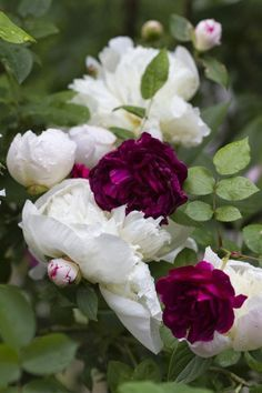 White peonies with burgundy roses