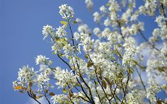 Best flowering shrubs and trees to plant in spring. Flowering Cherry Tree, Flowering Shrubs, Trees And Shrubs, Trees To Plant, Pagoda Dogwood, Honey Locust, Old Farmers Almanac, Decoration Plante, Garden Shrubs