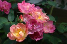 Suzon, une si jolie création d'André Eve Notre jardin secret...