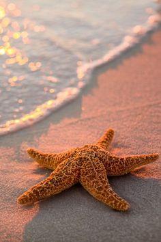 Starfish at sunset