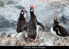 Three gentoo penguins sing together as a chorus.    © National Geographic Image Collection / Alamy