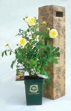 David Austin Roses  Container Roses sent by UPS  $34.95 each plus s