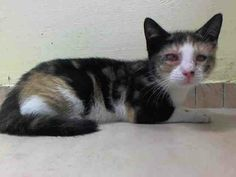 SAFE!!! TO BE DESTROYED 6/17/14 ** NINA HAS A RUPTURED RIGHT EYE AND IS ONLY A BABY! PLEASE HELP SAVE HER NOW!! Brooklyn Center  My name is NINA. My Animal ID # is A1002879. I am a female calico domestic sh. The shelter thinks I am about 11 WEEKS old.  I came in the shelter as a STRAY on 06/11/2014 from NY 11434